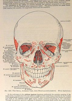 1933 Human Anatomy Illustration The Skull p113