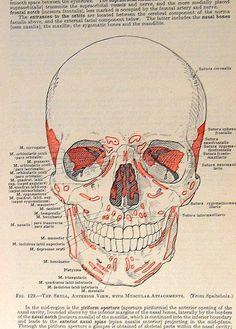1933 Human Anatomy Illustration The Skull p113