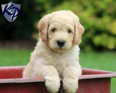 Toby – Goldendoodle Puppy www.keystonepuppies.com  #keystonepuppies  #goldendoodle