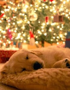 So sweet! He needs to be in the family Christmas photo too! Dog sleeping next to the Christmas tree.