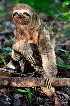 Pale-throated three-toed sloth (Bradypus tridactylus)  by Andrew Bazeley
