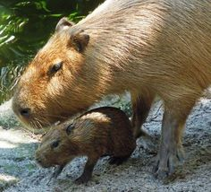 Kapibara ile Yavrusu