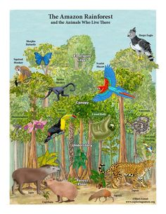 Amazon Rainforest Layers and Animals Mini-Poster Rainforest Biome, Amazon Rainforest, Curriculum, Homeschool, Genius Hour, Morpho Butterfly, Capybara, Forest Floor, Biomes