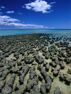 Stromatolites -Western Australia. Living fossils