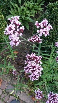 Verbena Bonariensis, prachtige insectenlokker!