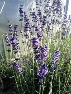 Ponúkam na predaj mladé rastlinky Levandule lekárskej (Lavandula angustifolia).Intenzívne voňajúca,stálezelená,mrazuvzdorná kríkovitá trvalka.Doras...