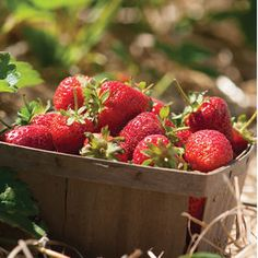 Strawberry Plant Collection