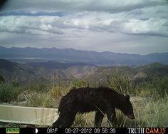 BLM Colorado Critter Cam: Black Bear.