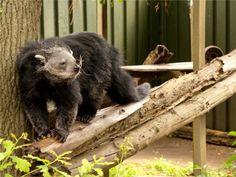 De beermarter klimt lenig over de balken in dierenpark Taman Indonesia.