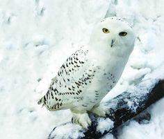 snowy owl HD photo - Google Search