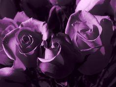 passionate purple   Passionate Purple Rose / Phantasmagorically Lovely