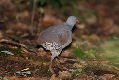 Tataupa Tinamou Crypturellus tataupa - Google Search