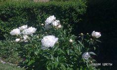 Белые пионы - Июнь, 9, 2013. Наш сад.