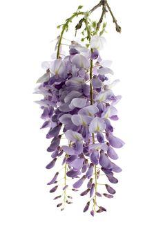 Ramas florecidas de glicinas. Ciudad Real
