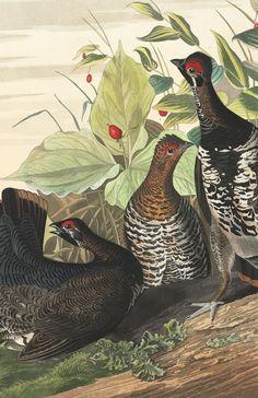"""Spotted Grouse"" - John J. Nature Prints, Art Prints, Medical Drawings, Audubon Birds, Engraving Printing, Birds Of America, John James Audubon, Grouse, Vintage Birds"