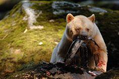 La pêche en solitaire : Contrairement à l'ours brun, l'ours noir préfère pêcher seul. Si un congénère arrive, il préfèrera lui laisser la place et déguster sa prise à l'abri des regards indiscrets.