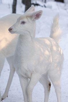 Sweet Albino Whitetail Deer