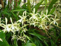 Orquídea Amor Perfeito (MiltoniaFlavescens)
