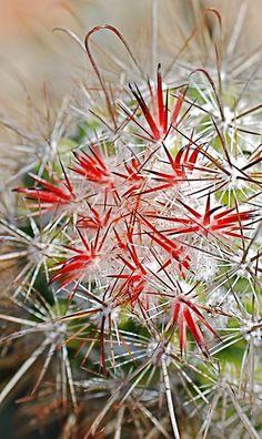Mammillaria pondii by plantmanbuckner, via Flickr