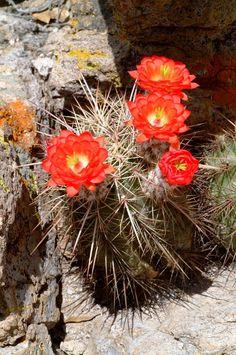 Echinocereus polyacanthus, Mexico, Chihuahua, Cumbres de Majalca