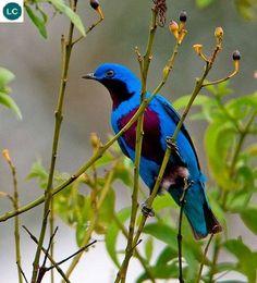 Lovely cotinga (Cotinga amabilis); Central America; IUCN Red List of Threatened Species 3.1 : Least Concern (LC)(Loài ít quan tâm)    Chim Cotinga khả ái; Họ Cotinga-Cotingidae; Trung Mỹ.
