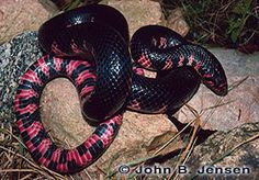 Eastern Mud Snake, Coastal Georgia