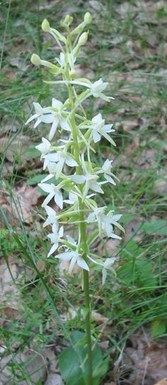"Platanthera bifolia, commonly known as the Lesser Butterfly-orchid, is a species of orchid in the genus Platanthera, having certain relations with the genus Orchis, where it was previously included and also with the genus Habenaria. It can be found throughout Europe and Morocco. The name Platanthera is derived from Greek, meaning ""broad anthers"", while the species name, bifolia, means ""two leaves""."