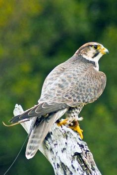 Birds of Prey - Saker Falcon 11x14 | InletImages - Photography on ...