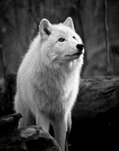 The White Wolf.or casper sometimes I think people wonder if she's a wolf Nature Animals, Animals And Pets, Cute Animals, Wolf Spirit, Spirit Animal, Wolf Pictures, Animal Pictures, Beautiful Creatures, Animals Beautiful