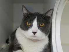 """FLEX - A1111749 - - Manhattan  *** TO BE DESTROYED 05/26/17 *** Meet Flex: This cat is shy at first but can be friendly once he gets to know you. He likes to play with strings and rubber balls. He is a senior cat and very mellow, and would really appreciate a warm basket to sleep in.  Can you help this guy find a nice home? 15 year old FLEX is a big boy at 17 lbs!!  His owner dumped him for """"cost"""" and now he needs a new home.  He is super handsome, calm and frie"""