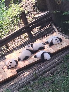 on I'd love to get the chance to work with baby pandas once in my life.I'd love to get the chance to work with baby pandas once in my life. Cute Little Animals, Cute Funny Animals, Fluffy Animals, Animals And Pets, Wild Animals, Fantasy Animal, Image Panda, Cute Puppies, Cute Dogs