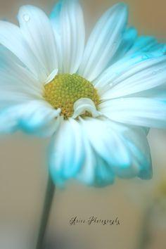 ~~Blue Daisy by Nancy I Morales~~