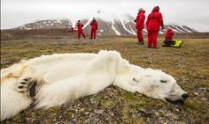 Starved polar bear perished due to record sea-ice melt, says expert  Climate change has reduced ice in the Arctic to record lows in the past year, forcing animals to range further in search of food