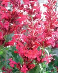 For my garden: Heather Queen Hyssop - blooms all summer, heat tolerant, extremely fragrant, attracts hummingbirds - zones 5-10