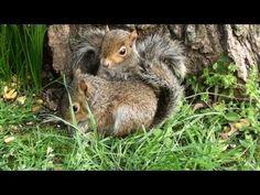 Cute Baby Squirrels Wrestling Around
