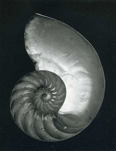 Edward Weston Nautilus