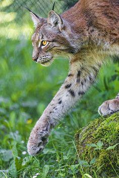Walking Eurasian lynx (Lynx lynx)