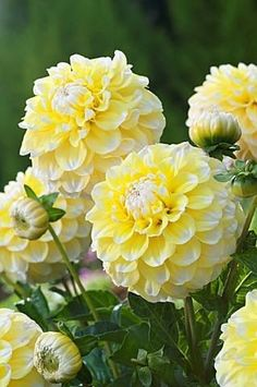 DAHLIA 'GRAMMA'S LEMON PIE' a very beautiful flower. One of the things I remember about my mother's sister Ophelia is her love for the Dahlia flower. Amazing Flowers, My Flower, Yellow Flowers, Flower Power, Beautiful Flowers, Dahlia Flowers, White Dahlias, Beautiful Things, Happy Flowers