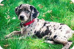 Bluetick Coonhound/Labrador Retriever Mix