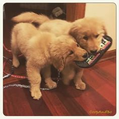 Coop and Bo the Goldens ♥
