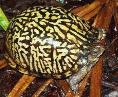 Eastern Box Turtle- CARE and INFORMATION Terrapene carolina carolina
