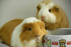The Guinea Pig Daily: Marten and Choco