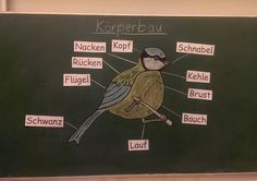 Today we started the new theme 'Birds in winter'. Preparing for my exam, we took a closer look at the physique of a bird. Ok . the blue tit is really a bit too fat - Science Education Rihanna, Start Of Winter, Blue Tit, Middle School Science, New Theme, Science Education, Feeling Happy, Inner Peace, Second Grade