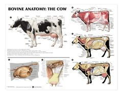 This bovine anatomy wall chart takes the beautiful illustrations from Spurgeon's Color Atlas of Large Animal Anatomy and puts them in a convenient wall format. Views of the cow include left lateral view with the dorsal and vertebral regions indicated. Large Animal Vet, Large Animals, Animals And Pets, Animal Care, Vet Tech Student, Anatomy Bones, Vet Assistant, Cattle Farming, Livestock