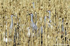 Cranes among the corn - Laszlo Perlaky - Wildlife Photographer of the Year 2006 : Animals in their Environment - Highly commended