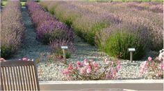 Cheristow Lavender Farm, Hartland, North Devon. Exceptional tea rooms, gardens, nursery, shop and camp site.