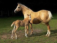 The Alter-Real is a breed of horse that originated in Portugal. Their name comes from a combination of their home village of Alter do Chão and the Portuguese word for royal, or real. They are an Iberian breed and are considered Baroque horses. They are closely related to the more common Lusitano.