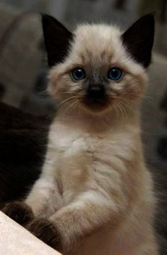 Sealpoint Siamese are social loving entertaining and intelligent cats