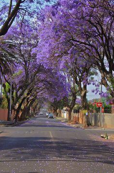 Johannesburg Jacarandas - Memories of the stunning Jacarandas in my youth in Harare too - breathtaking splendour!