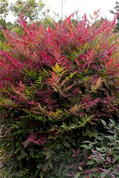 "Nandina ""Obsession"" (dwarf type), zone 6-11, H 2-3 ft, W 2-3 ft."